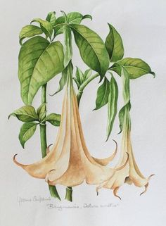 Watercolor - Flowers of Madeira - Brugmansia   by Yvonne Caspanni