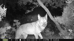 FOTO 6. Autor: Manuél Sosa Fernández Localidad: Codesal, Zamora (España) Especie: Lobo ibérico (Canis lupus signatus) Título: Noche de lobo