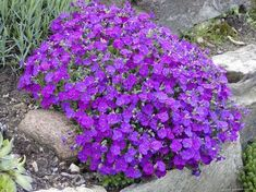 aubrieta seeds AUBRIETA L. perfect for rockeries walls gravel gardens and containers. on Etsy Gravel Garden, Garden Plants, Ground Cover Plants, Luminous Colours, Garden Spaces, Daffodils, Red Flowers, Evergreen, Perennials