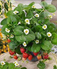 Loran Strawberry | Few runners mean these plants will stay where you plant them.