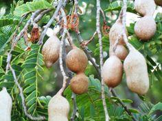 le litchi un arbre fruitier tropical le litchi est un fruit exotique disponible sur les. Black Bedroom Furniture Sets. Home Design Ideas