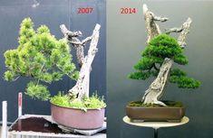 Wildly Unique Before & After Bonsai | Bonsai Bark
