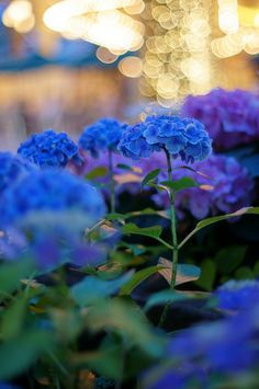 Gorgeous colors! Blue Hydrangeas