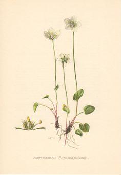 1953 Marsh Grass-of-Parnassus Vintage Botanical by Craftissimo