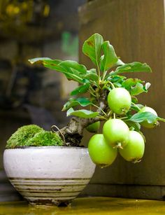 Learn how to make a guava bonsai step by step in this guava tree information article. Guava tree becomes an excellent bonsai and doesn& require too much care or maintenance. Bonsai Fruit Tree, Bonsai Tree Types, Bonsai Plants, Bonsai Garden, Fruit Trees, Moss Garden, Ikebana, Mame Bonsai, Mini Plantas