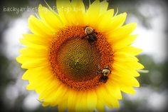 #bees  #honeybee  #sunflower