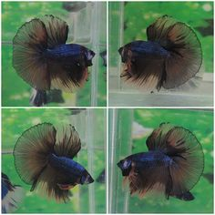fwbettashm1429772147 - MONKEY  FISH MALE #B3341