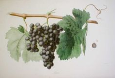 Mataro from 'Ampélographie française', by Victor Rendu. Paris, 1857. Ampelographies describe and often illustrate grape varieties. The hand-coloured lithographs of Eugene Grobon make this book possibly the most prized of the great ampelographies of the nineteenth and early twentieth centuries.