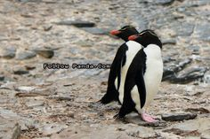 Rockhopper Penguin on Bleaker Island, Falkland Islands - A&K Le Boreal Antarctic Expedition Tour | FollowPanda.COM