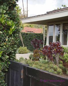 tall narrow privet hedge, southern California. Ligustrum japonicum, or shorter selection L. japonicum 'Texanu...'