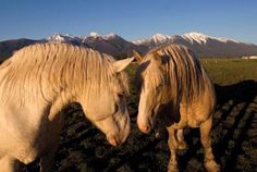 Saving an American Original - Montana breeder brings back a forgotten variety of draft horse American Cream Draft Draft Horse Breeds, Draft Horses, Most Beautiful Animals, Beautiful Horses, Beautiful Things, Mane Attraction, Clydesdale, All The Pretty Horses, White Horses