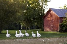 5 reasons geese are great: They make great guard animals and will raise a ruckus when unfamiliar people or animals come around. | Living the Country Life | http://www.livingthecountrylife.com/animals/chickens-poultry/5-reasons-geese-are-great/