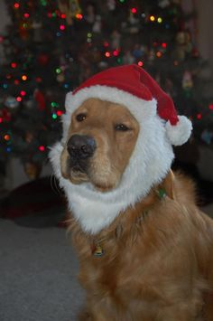Luther the Comfort Dog, one of several who went to Sandy Hook to comfort the survivors and townspeople after the massacre.