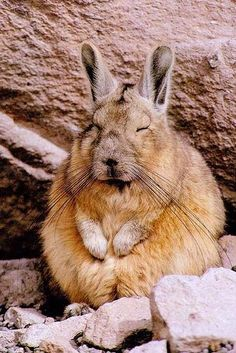 Southern viscacha (Lagidium viscacia)  The southern viscacha is a species of rodent in the family Chinchillidae and is found in Argentina, Bolivia, Chile and Peru. It is a colonial animal living in small groups in rocky mountain areas. It has long ears and hind legs and resembles a rabbit in appearance apart from its long, bushy tail. The southern viscacha does not hibernate and is mostly active soon after dawn and again in the evening. At these times it emerges from its underground hiding…