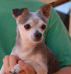 Spike empathizes so much with children that he reportedly cries the whole time they cry.  He is 12 years of age and homeless now though due to his previous owner's financial hardship.  Please help us find a hero for Spike.  He is a petite, tender-hearted Chihuahua, neutered boy, good with other dogs, and he is ready for adoption today at Nevada SPCA (www.nevadaspca.org).
