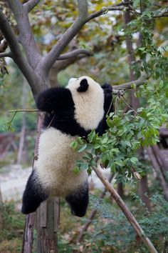 Climb the tree,cute panda