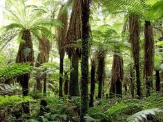 Tree ferns in the Whirinaki forest, New Zealand