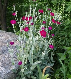 "Rose Campion  Lychnis coronaria-I've always called it ""Gramma Ridenour Flower"" ;)"