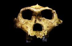 http://archaeologyinfo.com/australopithecus-robustus/ (13)