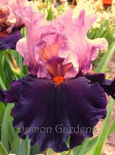 Advice on everything gardening Iris Flowers, Types Of Flowers, Real Flowers, Amazing Flowers, Planting Flowers, Beautiful Flowers, Iris Garden, Unusual Flowers, Purple Iris