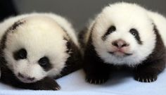 Pandas make our world a little brighter