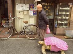Tortoise in a dress: African spurred tortoise out on walks through the streets of Tokyo with his person.  #animals #tortoises #animalsinduds