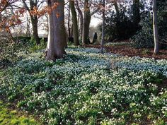 Snowdrop flowers (Galanthus) are the first bulb flowers to appear in late winter, before the spring equinox. They are grown in both cold winter regions and Bog Garden, Manor Garden, Sacred Groves, Wild Flower Meadow, Garden Bulbs, Unusual Plants, Woodland Garden, Bulb Flowers, Garden Spaces