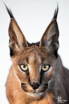 Exotic pets 680395456191822918 - hypnotic by Pia von Steegen / Source by manuelpoulain Small Wild Cats, Big Cats, Cool Cats, Cats And Kittens, Nature Animals, Animals And Pets, Funny Animals, Cute Animals, Beautiful Cats