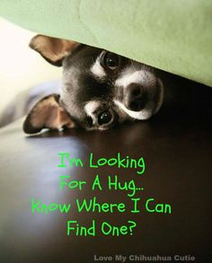 This Chihuahua is looking for a hug