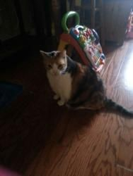 Dolly is an adoptable Calico Cat in Woodside, NY. Dolly is a sweet and friendly Calico around 7-years old. She is declawed. She is gentle and sweet and good with children. Dolly's owner and his wife a...