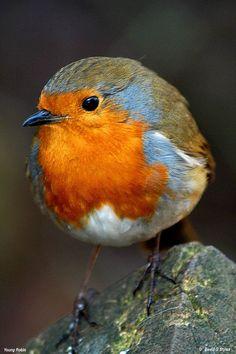 ヨーロッパコマドリ, ロビン  Robin, European Robin (Erithacus rubecula)