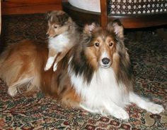 pictures of shelties - Google Search
