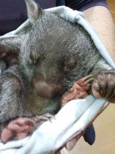 Baby wombat at deloraine tasmania