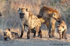 #Hyena. #Kruger National Park. South Africa.