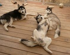 The Maxwell Husky Pack