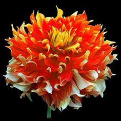 """""""Bodacious"""" Dahlia - height 4'.   Giant Informal Decorative Dahlia, red and orange"""
