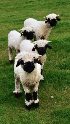 Valais Blacknose Sheep - Lambs now for sale from Prendwick Farm. Baby Sheep, Cute Sheep, Sheep And Lamb, Barnyard Animals, Cute Baby Animals, Rare Animals, Animals And Pets, Lambs For Sale, Valais Blacknose Sheep
