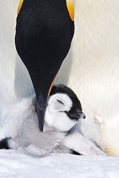 Mommy and baby penguin, melts your heart!
