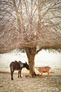 Dunkey Debbie and goat Odete