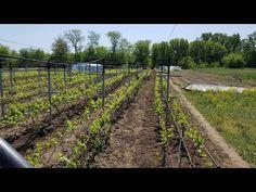 Это на винограднике необходимо сделать в мае, иначе урожая не вырастить. - YouTube