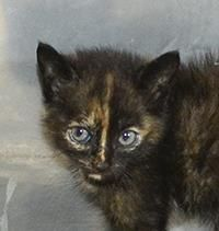 """Animal ID20617619 SpeciesCat BreedDomestic Shorthair/Mix Age3 months 13 days SexFemale SizeMedium ColorBlack DeclawedNo This adorable little girl was found stray. She is very frightened in the stressful shelter environment, and unfortunately her time is running out. Will you help this precious kitten find rescue? Please remember the """"FINAL DATE"""" is contingent upon the animal staying healthy. If they contract ANY ILLNESS they will be euthanized!"""