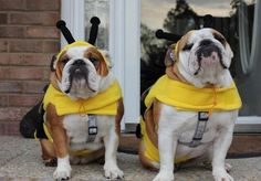 Two especially bee-utiful bulldog dressed up for Halloween. #dogs #bulldog #pets #costume #animals