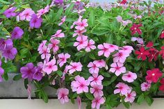 vinca | Vinca ( Catharanthus ) is grown as an annual in most regions of North ...