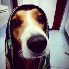 After a bath #beagle #beagleEdward #dog