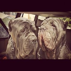 Bijoux and Mojo road trip time.. Neapolitan mastiff wrinkly huge heads love my monsters!