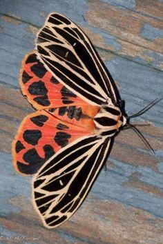 Virgin Tiger Moth - Bats and Moths by Magnum02
