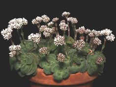 Crassula cremnophila is a small, slow growing Crassula, rarely seen in cultivation. Cool Succulents, Blooming Succulents, Planting Succulents, Cactus Planta, Cactus Y Suculentas, Cactus Cactus, Amazing Flowers, Colorful Flowers, Garden Plant Stand