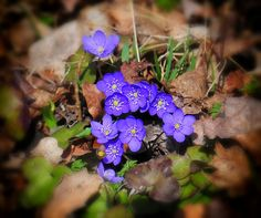 https://flic.kr/p/FsnyKu | Blue friday in the woods | Anemone hepatica (Common Hepatica, liverwort, kidneywort, pennywort) is a herbaceous perennial growing from a rhizome in the buttercup family (Ranunculaceae), native to woodland in temperate regions of the Northern Hemisphere.