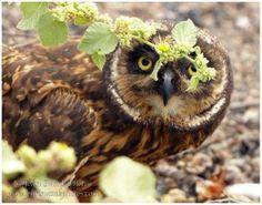 Short-eared owl, Galapagos