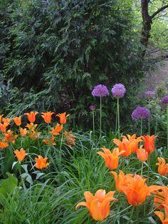 Alllium. Tulips, Cottage, Spring Garden Sarah's Cottage Creations Spring Garden, Us Images, Tulips, Cottage, Gardening, Plants, Cottages, Lawn And Garden, Plant